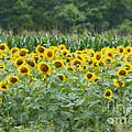 Field Of Sunflowers by Dale Powell