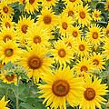 Field Of Sunflowers Helianthus Sp by David Davis