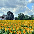 Field Of Sunflowers by Kathleen Struckle