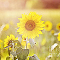 Field Of Sunshine by Scott Pellegrin