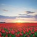 Field Of Tulips In Hdr by Sjo