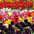 Field Of Tulips Ll by Wanda J King