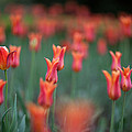 Field Of Tulips by Ralf Kaiser