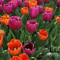 Field Of Tulips by Traci Law