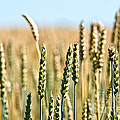 Field Of Wheat by Cheryl Baxter