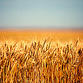 Field Of Wheat by Todd Klassy