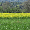 Field Of Yellow by Anita Adams