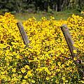 Field Of Yellow by Carol VanDyke