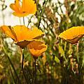 Field Of Yellow Poppies by Douglas Barnett