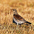 Fieldfare by Paul Scoullar
