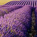 Fields Of Lavender by Brian Jannsen