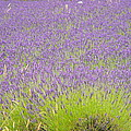 Fields Of Lavender by Phyllis Britton