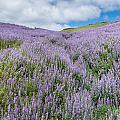 Fields Of Lupine 3 by Greg Nyquist