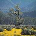 Fields Of Yellow Foxglove by Scott Campbell
