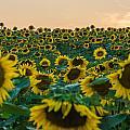Fields Of Yellow  by Kristopher Schoenleber