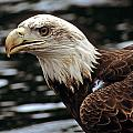 Fierce Bald Eagle by Larry Allan