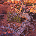 Fiery Furnace Juniper by Ray Mathis