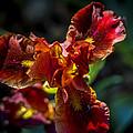 Fiery Iris by Phil Abrams