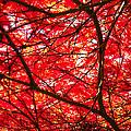 Fiery Maple Veins by Tikvah's Hope
