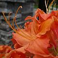 Fiery Orange Azalea  by Nicki Bennett