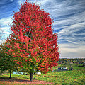 Fiery Red Maple by Jaki Miller