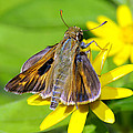 Fiery Skipper Butterfly by Charles Feagans