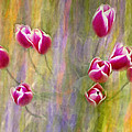 Fiesta Tulips by Sharon M Connolly