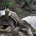 Fighting Galapagos Giant Tortoises by Jason O Watson