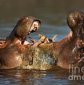 Fighting Hippo's by Johan Swanepoel