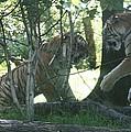 Fighting Siberian Tigers by John Telfer