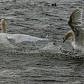 Fighting Swans by Trevor Kersley