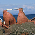 Fighting Walrus by Alissa Crandall
