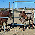 Fillies At The Gate by Linda Feinberg