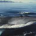 Fin Whale In Sea Of Cortez by Tui De Roy