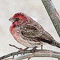 Finch Art by Debbie Portwood