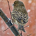 Finch On A Snowy Day by Debbie Portwood