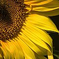 Find The Spider In The Sunflower by Belinda Greb