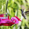 Fine Feathered Hummingbird by Carol Groenen