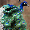 Finely Feathered by Joe Bledsoe