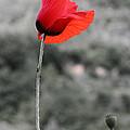 Fiore Rosso by Michele Messina