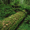 Fir Nurse Log In Rainforest Pacific by Gerry Ellis