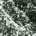 Fir Tree Branch Covered With Snow  by Jeelan Clark