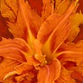 Fire Lily by Anne Cameron Cutri