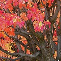 Fire Maple by Laura Yamada