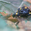 Fire Salamander Front View by Jivko Nakev