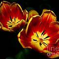 Fire Tulip Flowers by Nikki Vig