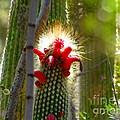 Firecracker Cacti by Marilyn Smith