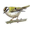 Firecrest, Artwork by Science Photo Library