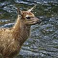 Firehole River Elk Fawn by Wes and Dotty Weber