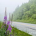 Fireweed And Fog Scenic Highway by Thomas R Fletcher